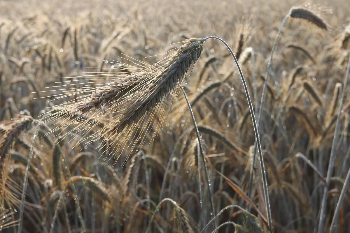 Dew Drops on a Ear of Barley in a Field